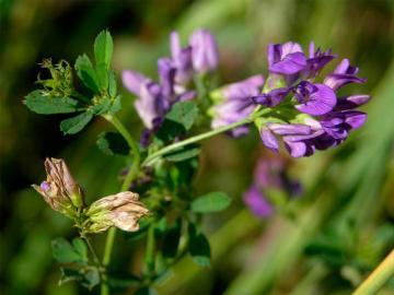 Квітка люцерни