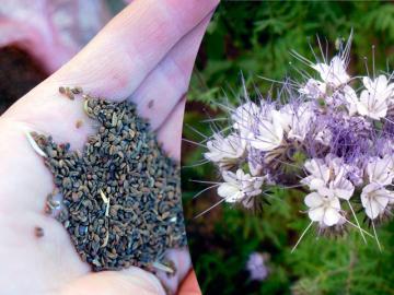 Семена фацелии и цветок