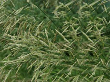 Трава Костра безостого