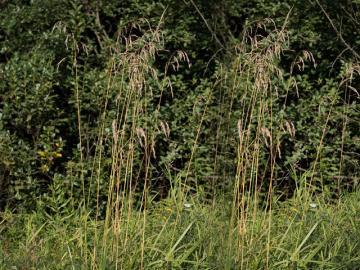 Овсяница тростниковая