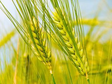 Зелений колосок пшениці
