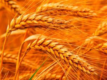 Стиглі колоски пшениці