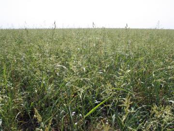 Поле суданской травы