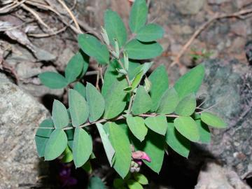 Листки вики посівної